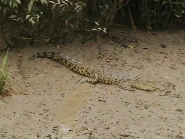 Video : World's Largest White Crocodile Park Reopens In Odisha