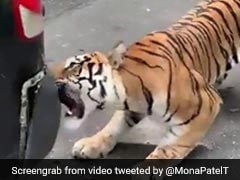 Viral Video: Tiger Bites Safari Vehicle At Bengaluru's Bannerghatta Biological Park