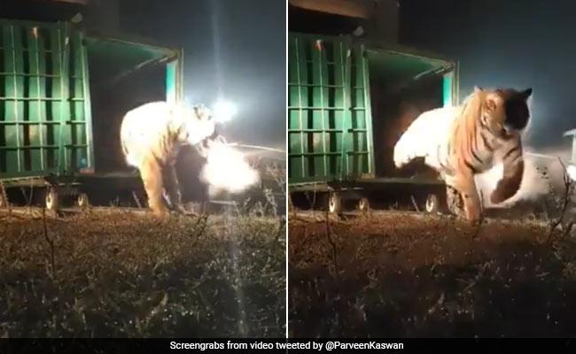 'Is This Tigress From Bandhavgarh Smoking?' Asks IFS Officer. Watch Viral Video