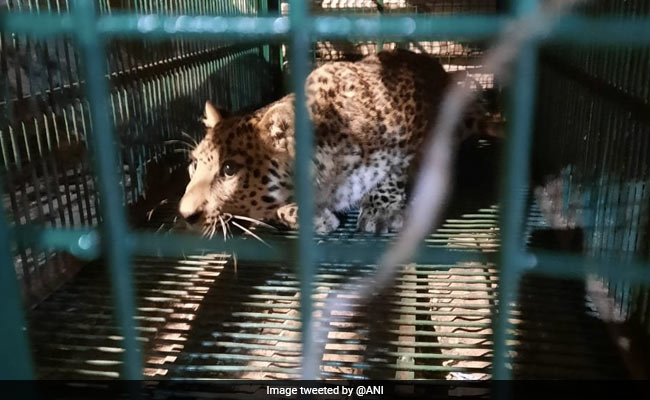 Leopard Stuck In Wire Mesh Rescued In West Bengal