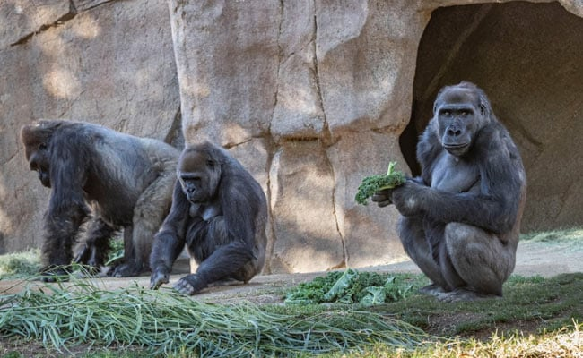 Gorillas At San Diego Zoo Safari Park In US Diagnosed With Coronavirus