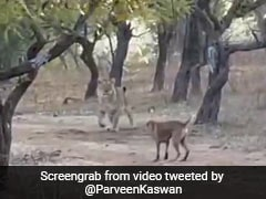 A Fearless Stray Dog Fights A Lioness In This Viral Video