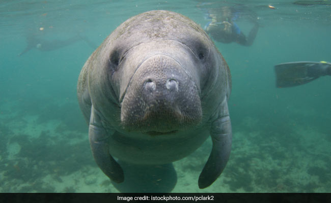 Investigation Into Who Etched 'Trump' On Manatee's Back