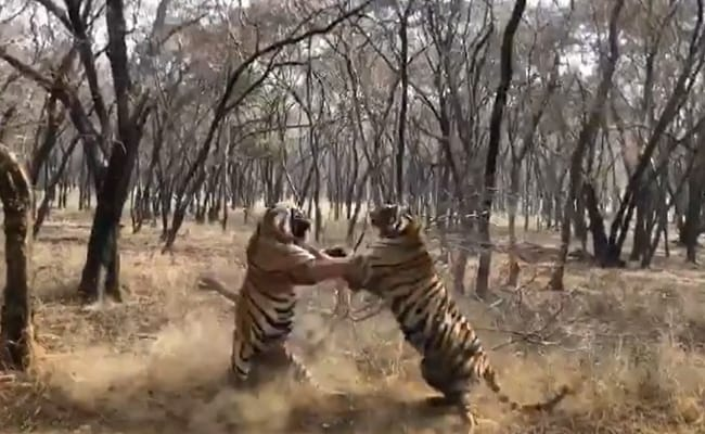 'Clash Of Titans, Only From India': Forest Officer's Tiger Fight Video