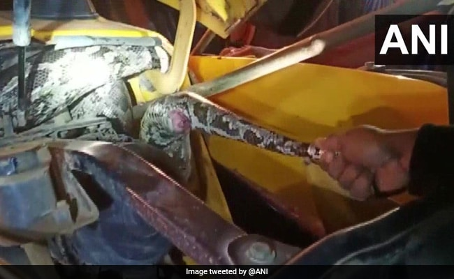 Two Giant Pythons Found Inside JCB Machine In Odisha