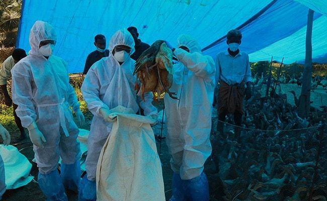 Bird Flu Confirmed In More Places In Maharashtra, Gujarat, Chhattisgarh