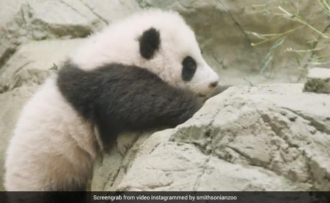 छोटे से पांडा को पूरा करना है पत्थर की दीवार पर चढ़ने का चैलेंज, देखें क्यूट Video