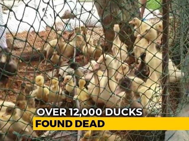 Video : Over 12,000 Ducks Found Dead In Kerala