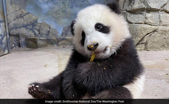 Baby Panda Makes Debut - Online - At National Zoo