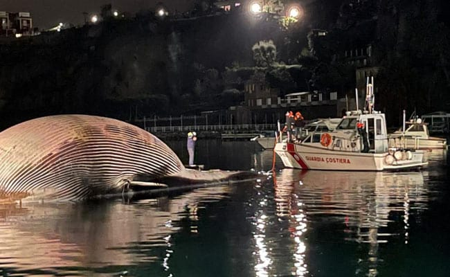 Dead Whale, One Of Mediterranean's Largest, Found Off Italy Coast