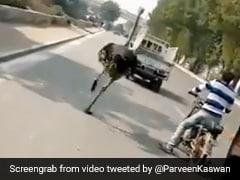 पाकिस्तान में चिड़ियाघर से भागा शुतुरमुर्ग, सड़क पर लगाई दौड़ तो हुआ कुछ ऐसा - देखें पूरा Video