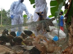 Traders Hit By Duck Culling In Kerala's Alappuzha Over Avian Influenza