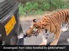 सफारी में बैठे थे लोग, अचानक पीछे से आकर गाड़ी खींचने लगा बाघ, फिर हुआ कुछ ऐसा- देखें Video