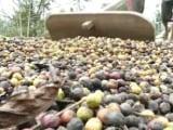 Video : Unprecedented January Rains Ruin Kerala Coffee Planters' Cuppa