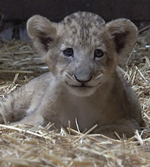Singapore Zoo Welcomes Country's First Artificially Conceived Lion Cub