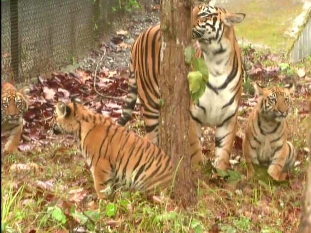 Video : 3 Tiger Cubs Released In Bengal Safari
