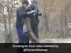 Viral Video Of Leopard 'Playing' With People Raises Concerns
