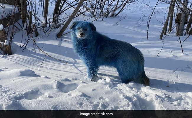 Pack Of Bright Blue Stray Dogs Spotted In Russia. See Viral Pics