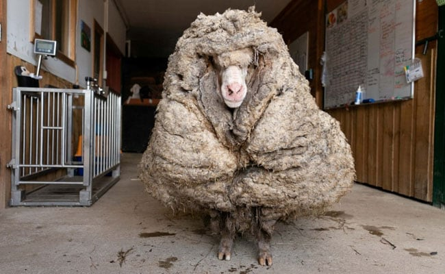 Watch: Wild Sheep With 35-Kg Coat Of Wool Rescued In Australia