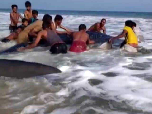 Video : Blue Whale Shark Spotted At Beach In Odisha's Ganjam