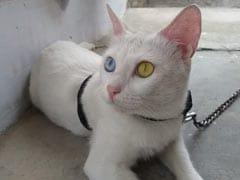 नीले और सुनहरी आंखों वाली दुर्लभ बिल्ली की कीमत लाखों में, लेकिन बेचने को तैयार नहीं मालिक - जानें वजह