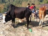 """Video : Encourage Students To Take Online Exam On """"Cow Science"""": UGC To Universities"""
