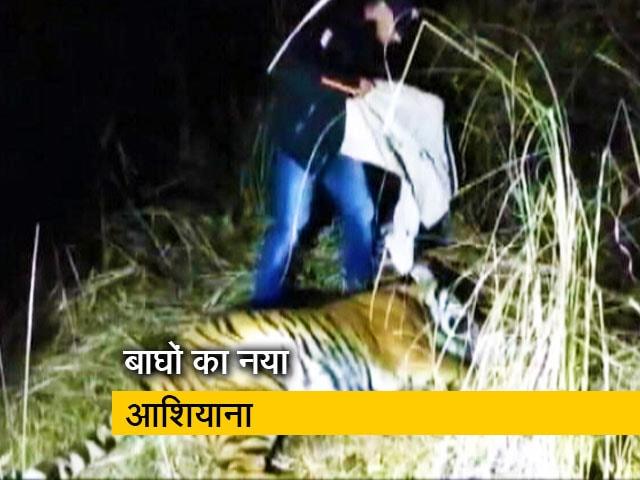 Videos : बाघों को मिल रहा है नया ठिकाना