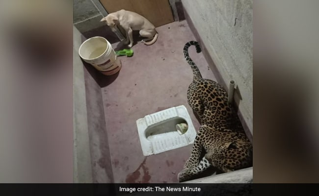 A Canine And A Leopard, Caught In Bathroom For Hours. How This Ended