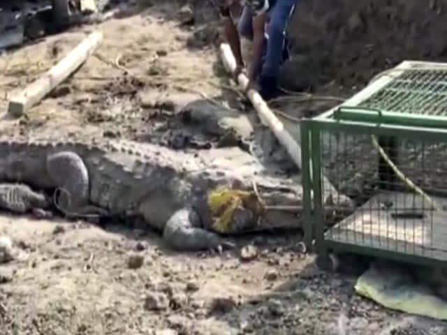 Video : 11-Foot Crocodile Rescued From Vadodara Construction Site. Watch
