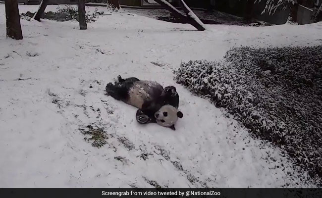 Viral: This Video Of Pandas Playing In Snow Is Pure Joy