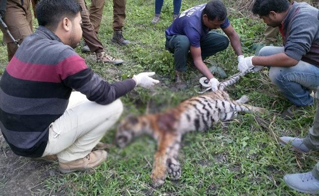 Tiger Cub Found Dead In Kaziranga National Park