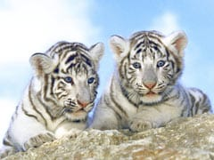 2 White Tiger Cubs In Pakistan Likely Died Of COVID-19, Zoo Officials Say