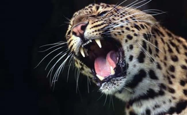 Leopard Which Killed 3 Women In Uttarakhand's Pithoragarh Shot Dead: Official