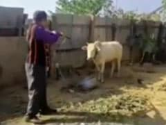 Manipur Man Shoots Cow, Case Registered After Outrage Over Video