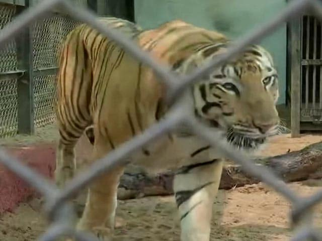 Video : As City Sizzles, Hyderabad Zoo Keeps Animals Cool With Sprinklers, Desert Coolers