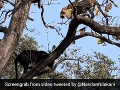 """An """"Epic Encounter"""" Between A Black Panther And Leopard In Kabini. Watch"""