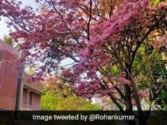 In Pics: Not Japan, This Pink Wonderland Is Bengaluru