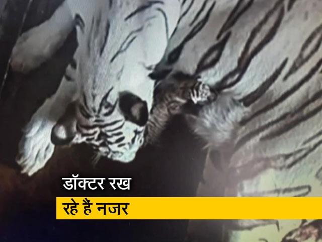 Video : नंदनकानन जूलोजिकल पार्क में सफेद बाघिन ने दिया 3 शावकों को जन्म