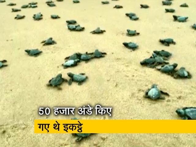 Video : विशाखापत्तनम : 350 से ज्यादा कछुओं के बच्चों को समुद्र में छोड़ा गया