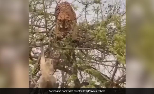 A Monkey's Shrewdness vs A Tiger's Confidence. Watch Who Won