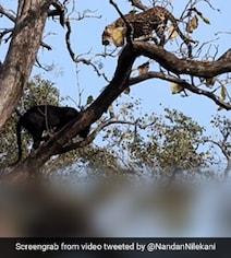 ब्लैक पैंथर और तेंदुए के बीच हुआ खतरनाक एनकाउंटर, एक दूसरे पर किया जबरदस्त अटैक - देखें Video