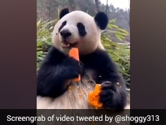 Have You Seen This Cute Video Of Panda Eating Carrot? Watch Here; Don't Miss