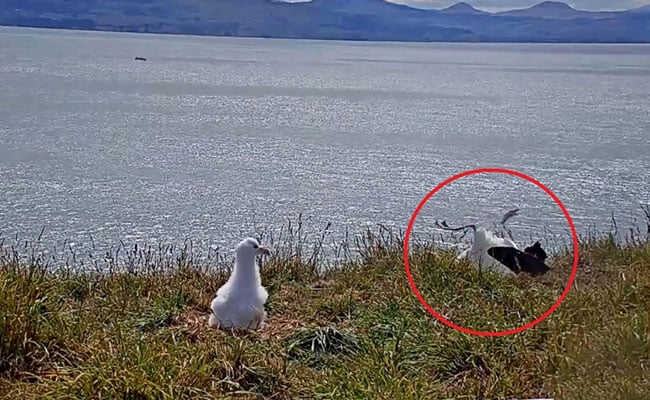 Faceplanting To Fame: Viral Video Catches Albatross In Awkward Landing