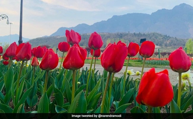 PM Modi Tweets Pics Of Jammu And Kashmir's ''Majestic Tulip Garden''