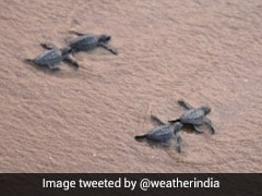 Watch: Over 350 Baby Turtles Released Into The Sea By Andhra Government