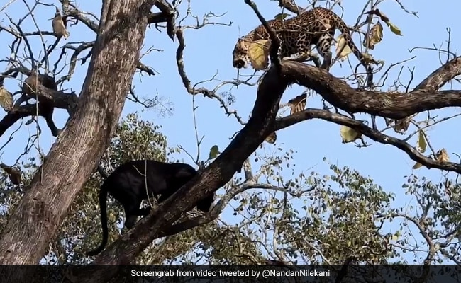 An 'Epic Encounter' Between A Black Panther And Leopard In Kabini. Watch