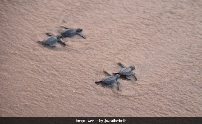 Over 350 Baby Turtles Released Into The Sea By Andhra Government