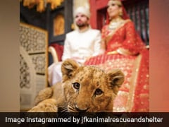Pakistani Couple Faces Backlash For Using Sedated Lion Cub In Wedding Shoot