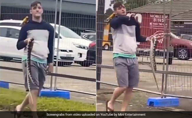 Viral Video: Man Walks Casually With Python In Hand, Parrot On Shoulder