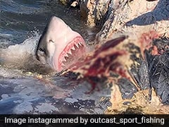 Fisherman Captures Incredible Footage Of Shark Devouring Whale Carcass